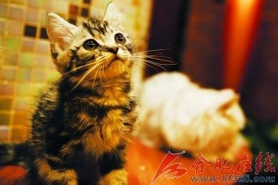 """茶餐厅用20多只宠物猫当""""侍应生"""""""